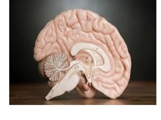 Среден мозок ● Го создава горниот дел на мозочното стебло ● Сместен подсредината на големиот мозок ● Одговорен е за виднит...