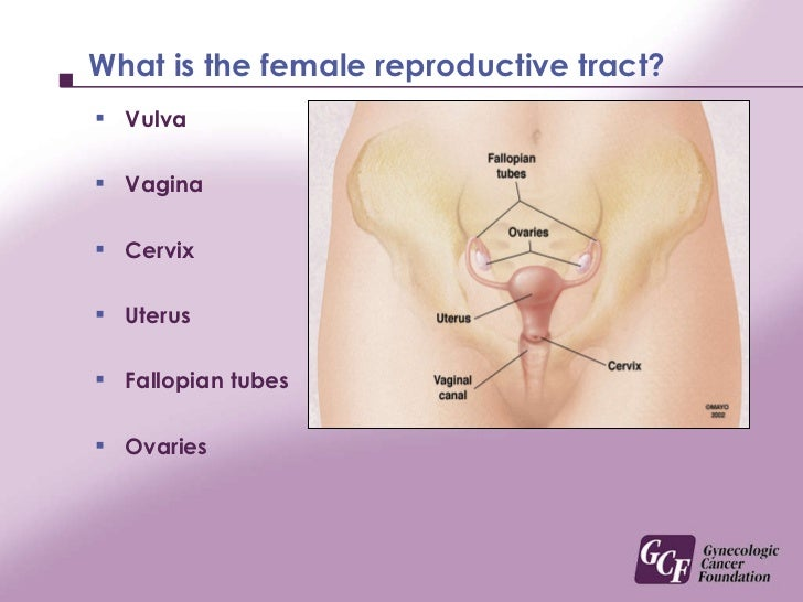 Educational picture of a vagina