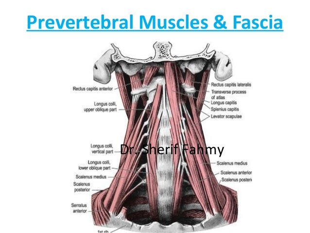 Cervical Fascia & Posterior Triangle (Anatomy of the Neck)