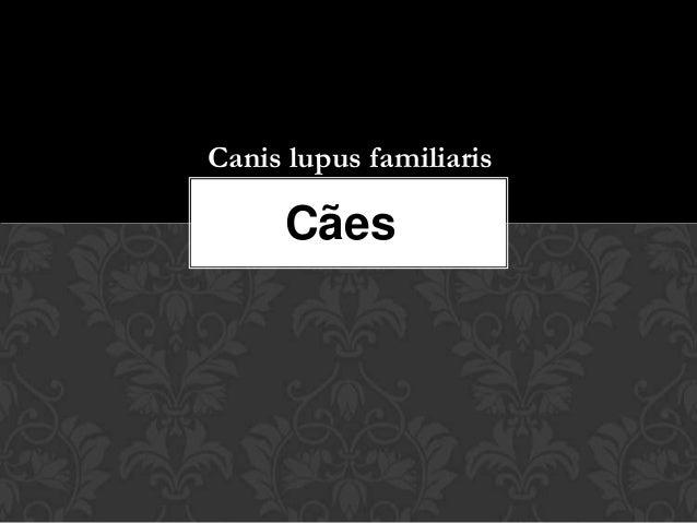 Canis lupus familiaris     Cães