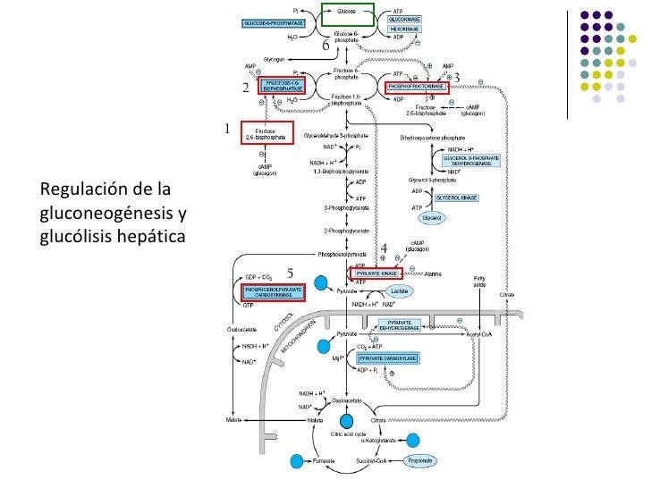 6                                          3                          2                      1Regulación de lagluconeogéne...