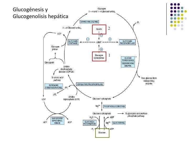 Glucogénesis yGlucogenolisis hepática                          2                          1