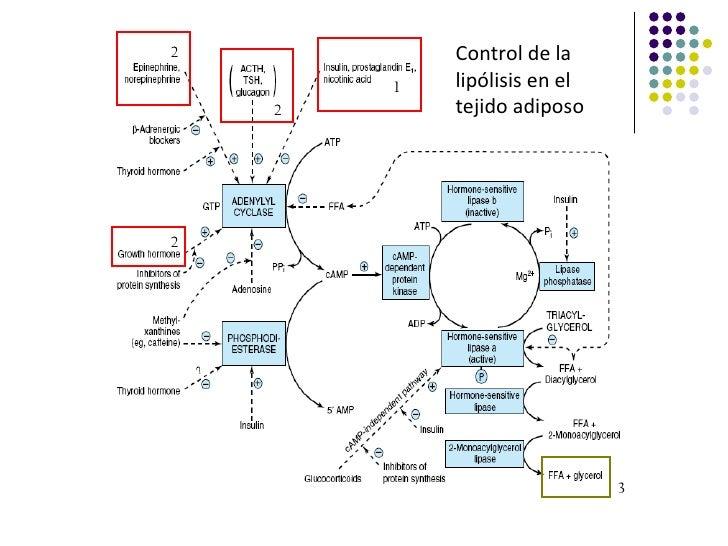2           Control de la        1   lipólisis en el    2       tejido adiposo2                              3