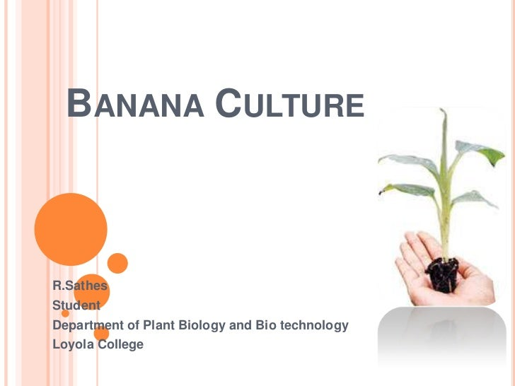 Banana Culture<br />R.Sathes<br />Student<br />Department of Plant Biology and Bio technology<br />Loyola College<br />