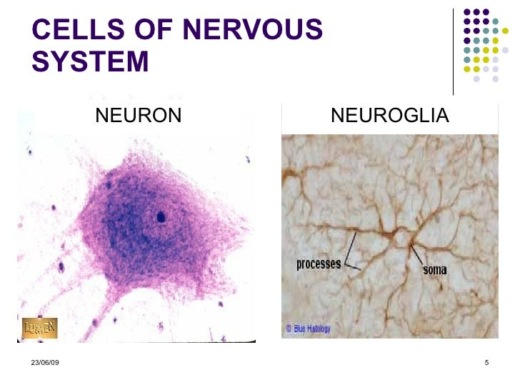 nervous system histology The nervous system is divided structurally into the central nervous system (cns) and the peripheral nervous system (pns), although remember that these are really two components of one, integrated system.