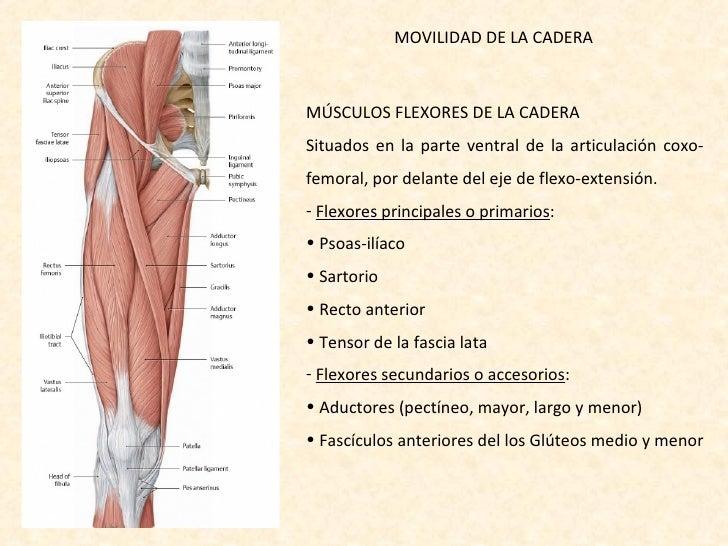 Fantástico Anatomía De Flexores De La Cadera Friso - Anatomía de Las ...