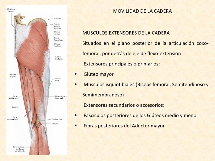 Atractivo Los Músculos Abductores De La Cadera Galería - Anatomía de ...