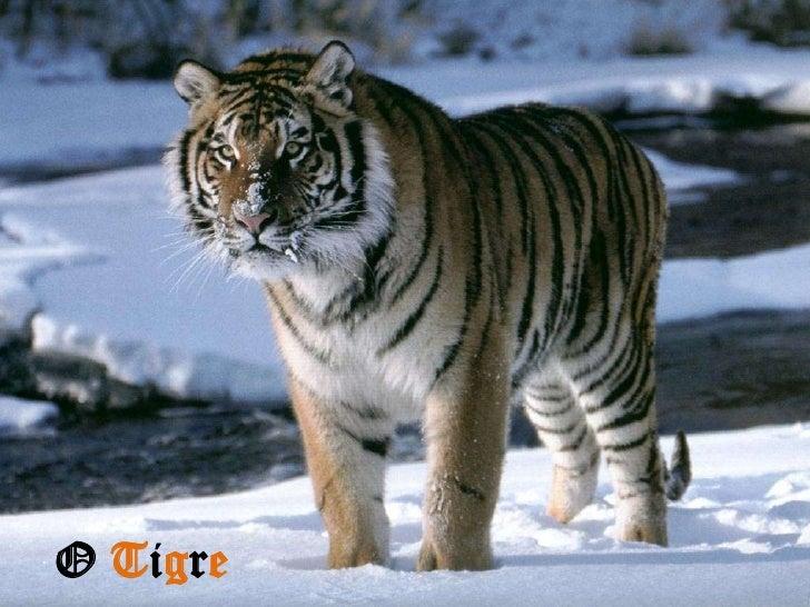 O Tigre<br />