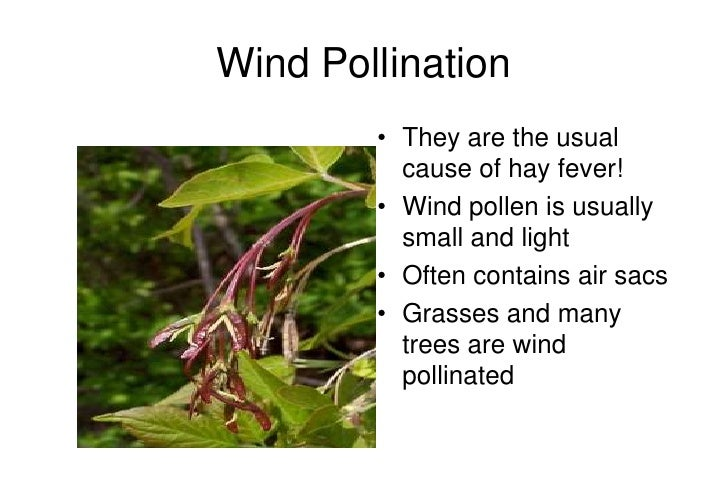 wind pollination Wind-pollinated flowers in general, wind-pollinated flowers are green, small, and often lack petals the anthers and stigmas generally hang outside the flowers to allow the wind to carry the.