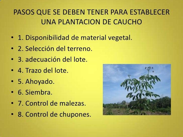 PASOS QUE SE DEBEN TENER PARA ESTABLECER UNA PLANTACION DE CAUCHO<br />1. Disponibilidad de material vegetal.<br />2. Sele...
