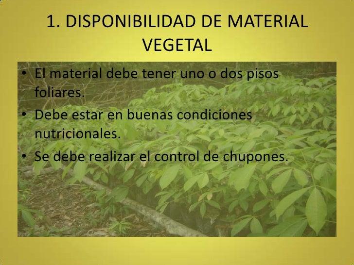 1. DISPONIBILIDAD DE MATERIAL VEGETAL<br />El material debe tener uno o dos pisos foliares.<br />Debe estar en buenas cond...