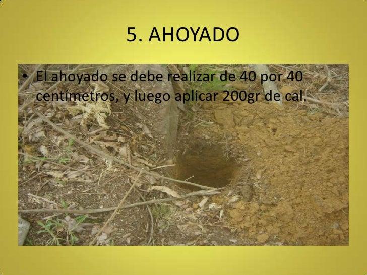 5. AHOYADO<br />El ahoyado se debe realizar de 40 por 40 centímetros, y luego aplicar 200gr de cal.<br />