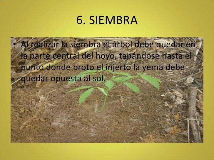 6. SIEMBRA<br />Al realizar la siembra el árbol debe quedar en la parte central del hoyo, tapándose hasta el punto donde b...