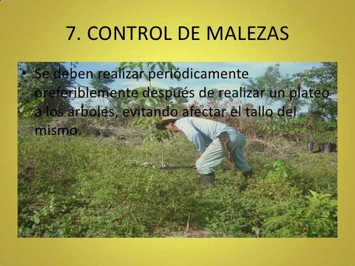 7. CONTROL DE MALEZAS<br />Se deben realizar periódicamente preferiblemente después de realizar un plateo a los arboles, e...