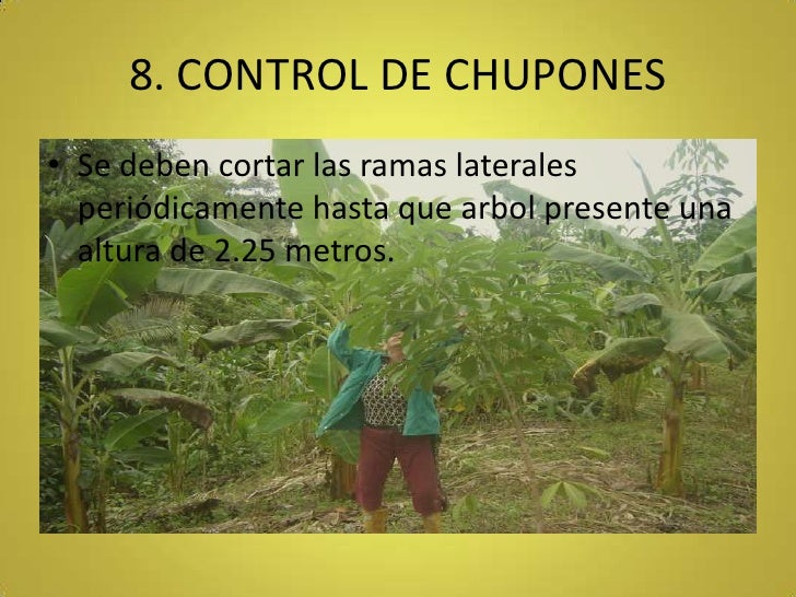 8. CONTROL DE CHUPONES<br />Se deben cortar las ramas laterales periódicamente hasta que arbol presente una altura de 2.25...