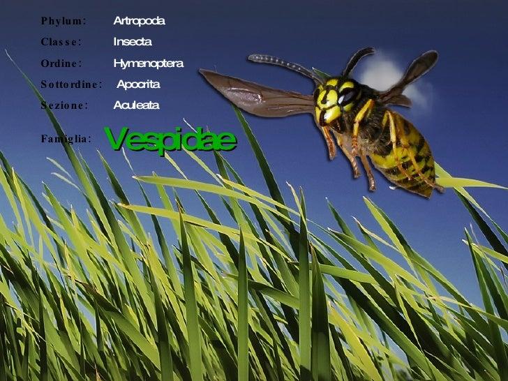 Phylum:  Artropoda Classe:   Insecta Ordine:  Hymenoptera Sottordine:     Apocrita Sezione:   Aculeata Famiglia: Vespidae