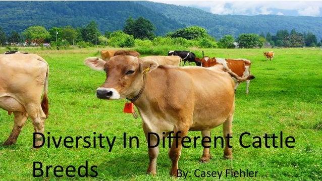 Diversity In Different Cattle Breeds By: Casey Fiehler