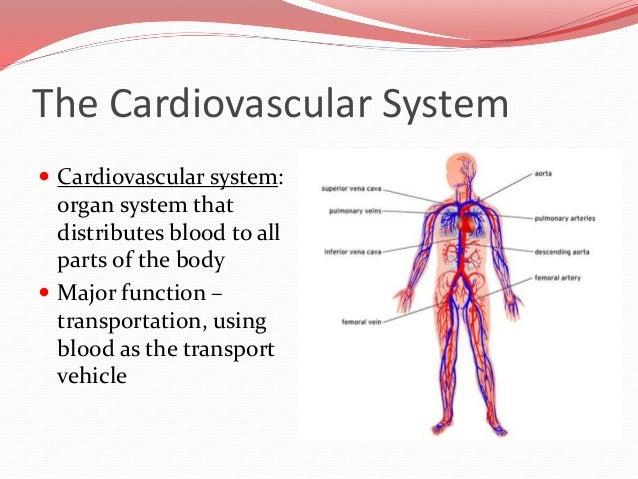 cardiovascular system, Human Body