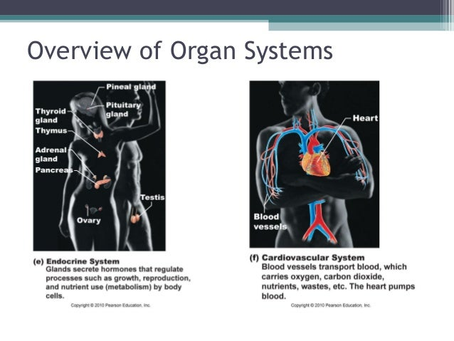 Anatomy & Physiology Lecture Notes - Ch. 1 introduction