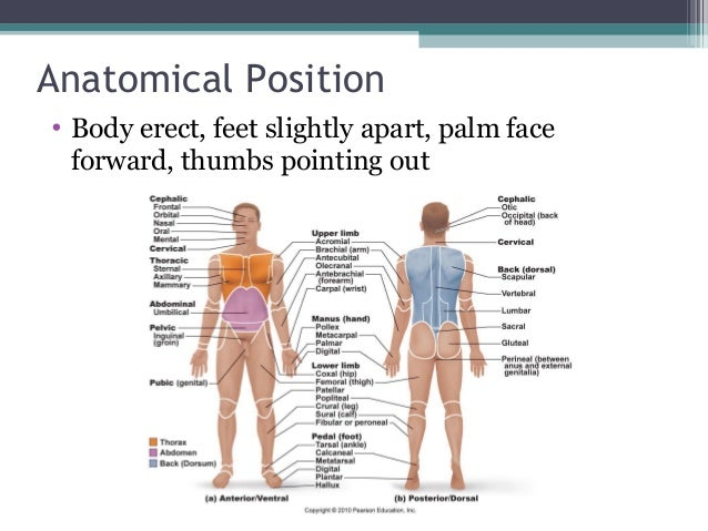 Introduction to Anatomy and Physiology additionally Fap Bones And Joints additionally Digestive System as well 39 besides Planes Of Human Motion. on dorsal and ventral cavities worksheet