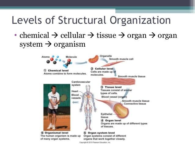 A level anatomy