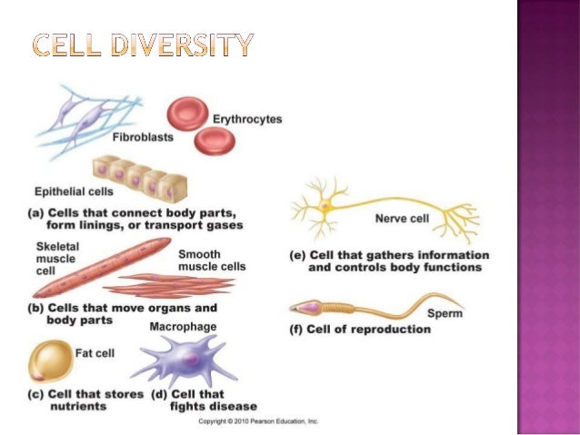 Anatomy & Physiology Lecture Notes - Ch. 3 cells - part 1