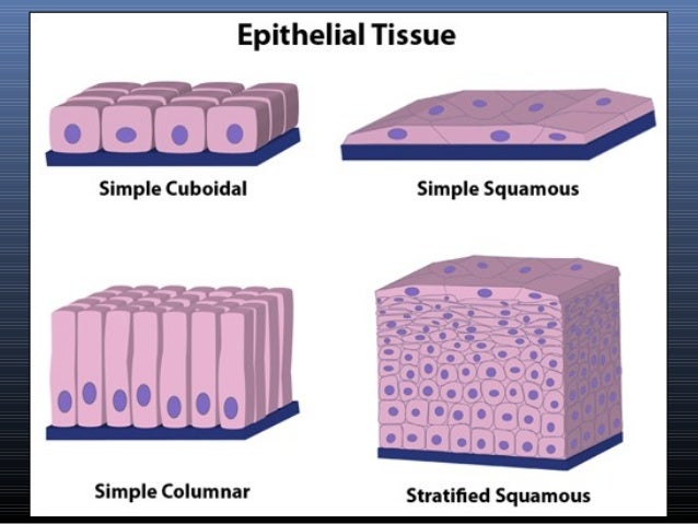 Anatomy & Physiology Lecture Notes - Ch. 4 tissues - epithelium
