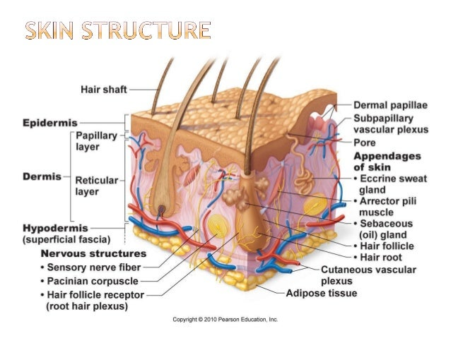 Integumentary System Skin Diagram Capillary Blood Vessel ...