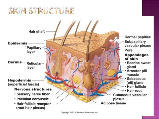 ch. 5 integumentary system - part 1, Human Body