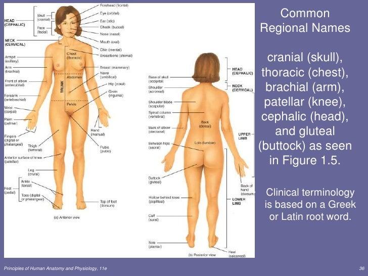 Female Anatomy Diagram Of Buttocks - Electrical Work Wiring Diagram •