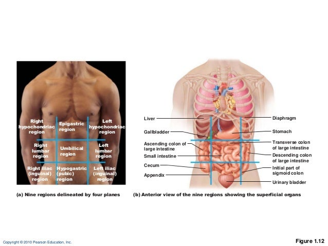 Abdominopelvic Cavity Quadrants Organs in addition Ch 01 Lectureoutlineb 39050135 additionally Location Of Abdominal Arteries likewise Index php together with Diagram Of Veins In Human Body This Diagram Shows The  work Of Blood Vessels In The Lungs. on body cavities diagram