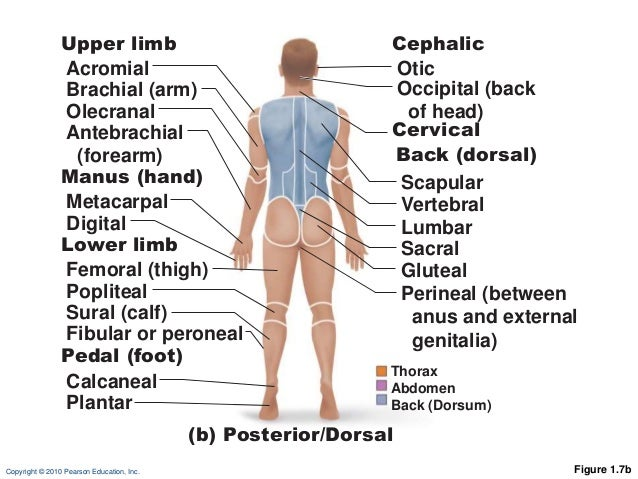 Ch 01 Lectureoutlineb on ventral surface of the human body