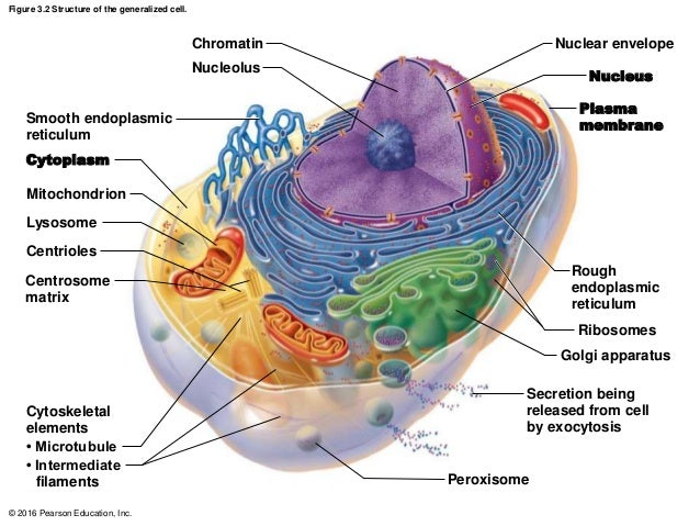 ch 03 lecture presentation a rh slideshare net Animal Cell Diagram and Functions Cell Structure Diagram