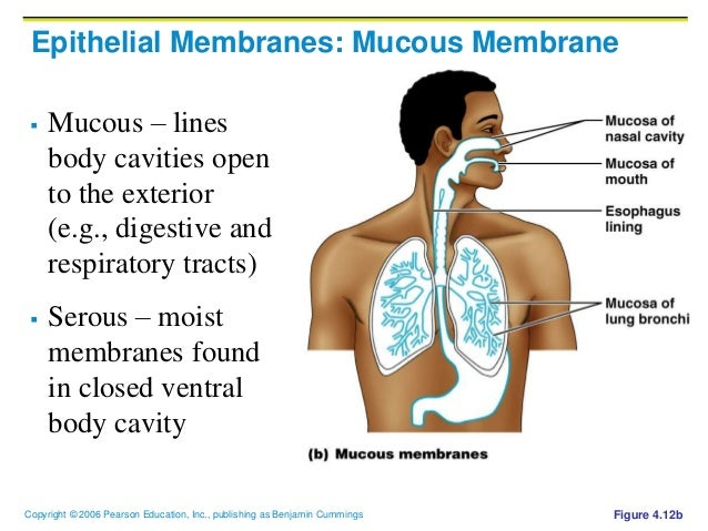 4905290 as well Chapter 4 Skin And Body Membranes further Details as well 4 Skin moreover Resp. on cutaneous mucous and serous