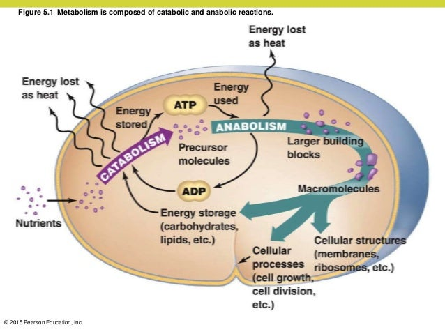 catabolic and anabolic pathways in bacteria