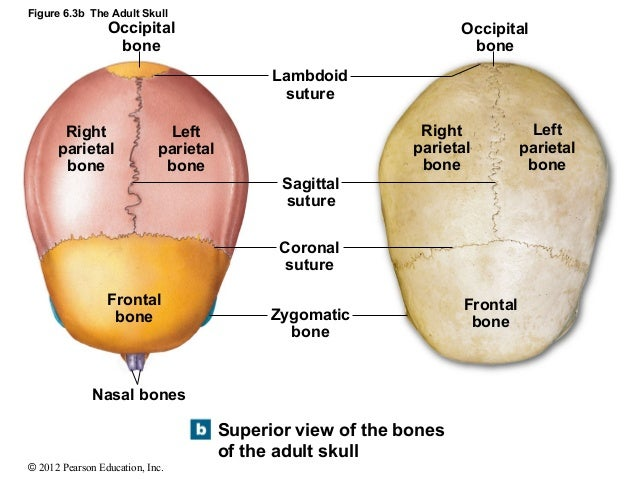 Perfect Parietal Bones Elaboration - Anatomy And Physiology Biology ...