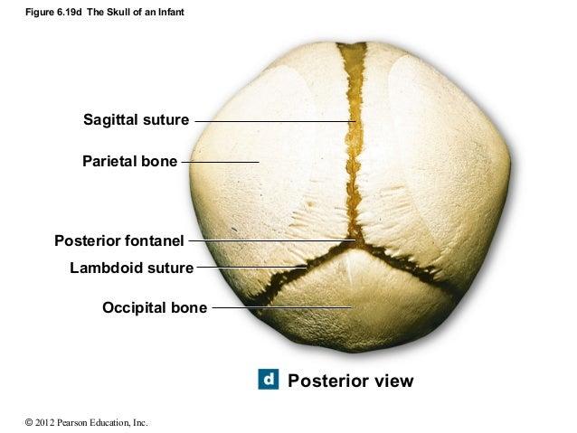 sagittal suture definition - 638×479
