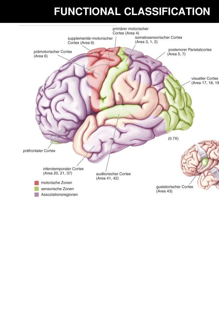Ziemlich Präfrontalen Kortex Anatomie Zeitgenössisch - Anatomie ...