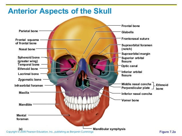 ch07 a.skeletal, Human Body