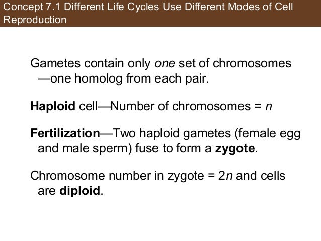 Concept 7.1 Different Life Cycles Use Different Modes of Cell Reproduction Gametes contain only one set of chromosomes —on...