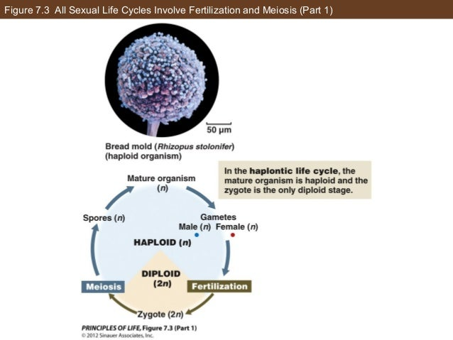 Figure 7.3 All Sexual Life Cycles Involve Fertilization and Meiosis (Part 1)