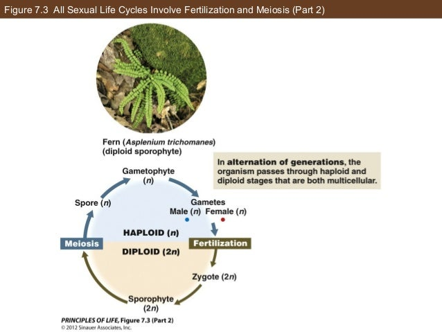 Figure 7.3 All Sexual Life Cycles Involve Fertilization and Meiosis (Part 2)