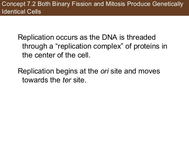 Concept 7.2 Both Binary Fission and Mitosis Produce Genetically Identical Cells Replication occurs as the DNA is threaded ...
