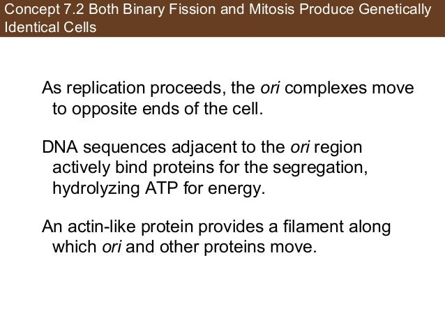 Concept 7.2 Both Binary Fission and Mitosis Produce Genetically Identical Cells As replication proceeds, the ori complexes...