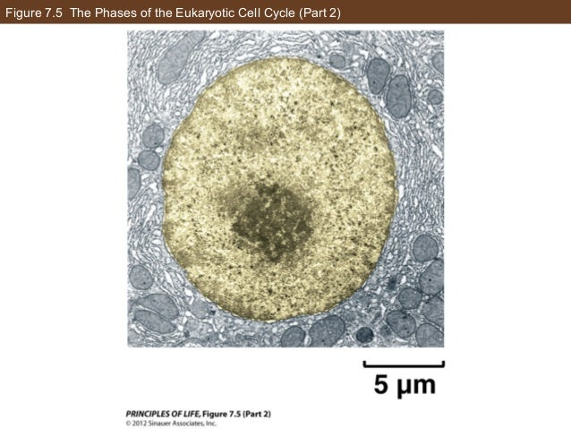 Figure 7.5 The Phases of the Eukaryotic Cell Cycle (Part 2)