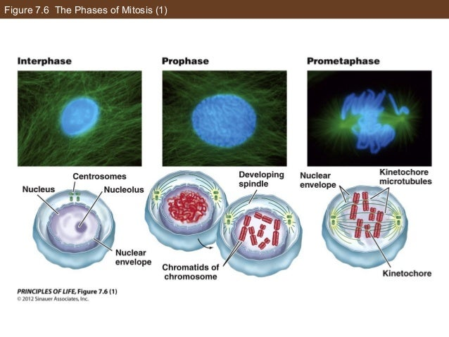 Figure 7.6 The Phases of Mitosis (1)