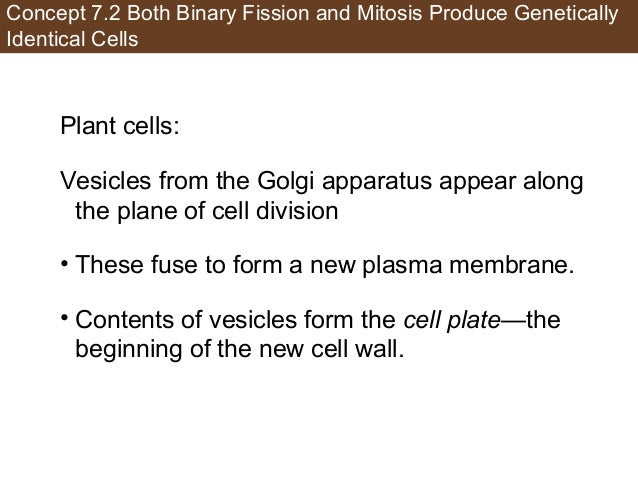 Concept 7.2 Both Binary Fission and Mitosis Produce Genetically Identical Cells Plant cells: Vesicles from the Golgi appar...