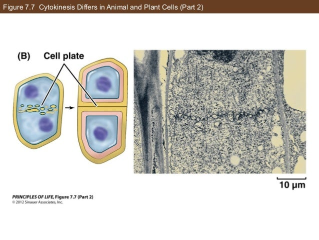Figure 7.7 Cytokinesis Differs in Animal and Plant Cells (Part 2)