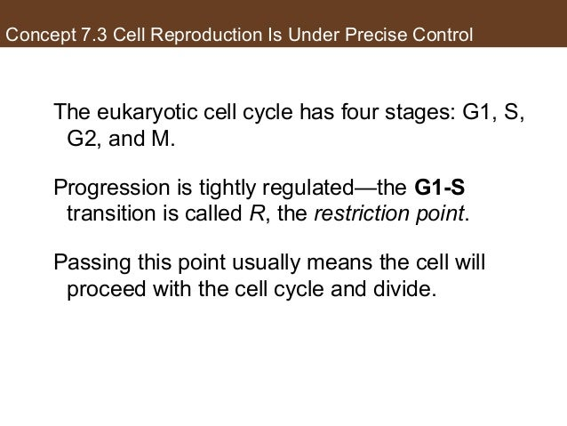 Concept 7.3 Cell Reproduction Is Under Precise Control The eukaryotic cell cycle has four stages: G1, S, G2, and M. Progre...