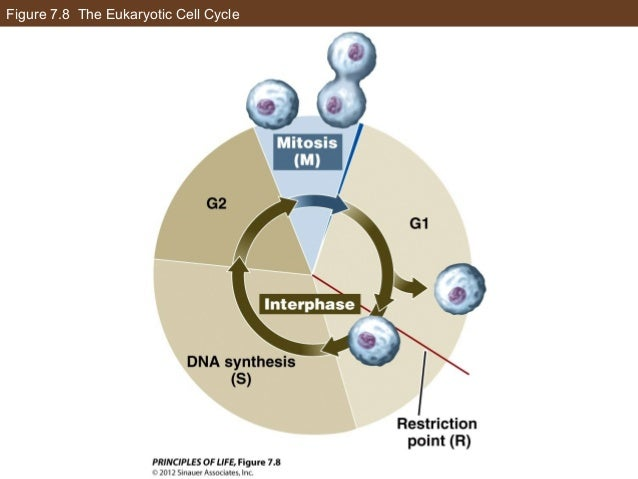 Figure 7.8 The Eukaryotic Cell Cycle